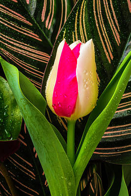 Unusual Pink White Tulip Poster by Garry Gay