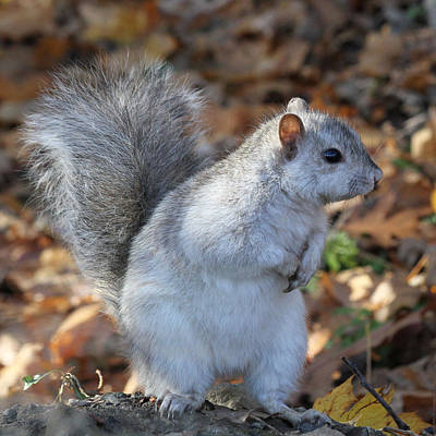 Poster featuring the photograph Unusual White And Gray Squirrel by Doris Potter