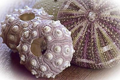 Urchin Shells Poster
