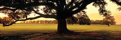 Usa, Louisiana, Oak Tree At Sunset Poster