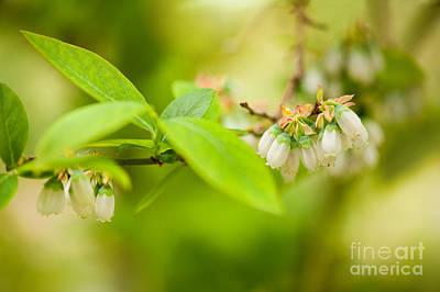 Vaccinium Corymbosum Blueberry Flowers Poster by Arletta Cwalina