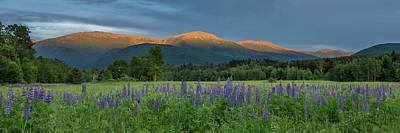 Valley Way Lupine Sunset Poster
