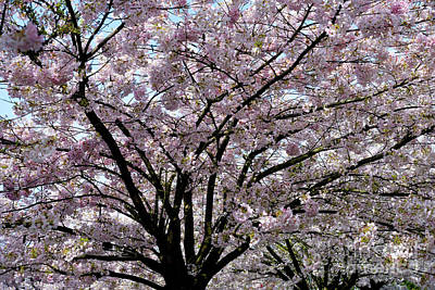 Poster featuring the photograph Vancouver 2017 Spring Time Cherry Blossoms - 10 by Terry Elniski