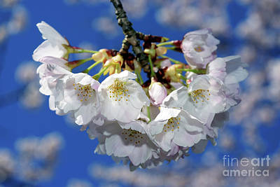 Poster featuring the photograph Vancouver 2017 Spring Time Cherry Blossoms - 11 by Terry Elniski