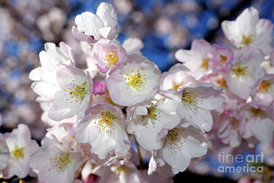 Poster featuring the photograph Vancouver 2017 Spring Time Cherry Blossoms - 13 by Terry Elniski