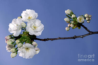 Poster featuring the photograph Vancouver 2017 Spring Time Cherry Blossoms - 4 by Terry Elniski