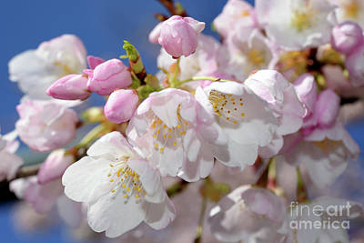 Poster featuring the photograph Vancouver 2017 Spring Time Cherry Blossoms - 7 by Terry Elniski