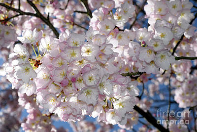 Poster featuring the photograph Vancouver 2017 Spring Time Cherry Blossoms - 8 by Terry Elniski