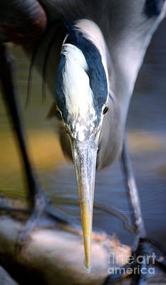 Vancouver Great Blue Heron Head On Poster by Terry Elniski