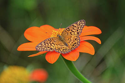Variegated Fritillary On Flower Poster by Ronda Ryan