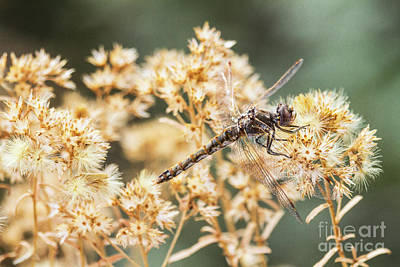 Variegated Meadowhawk On Yellow  Poster by Ruth Jolly