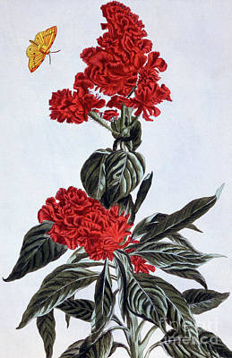 Variety Of Amaranthus Poster by Pierre-Joseph Buchoz