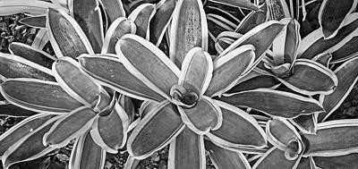 Variegated Vase Plant No. 2-2 Poster