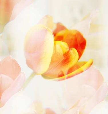 Veiled Tulip Poster
