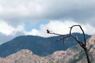 Vermillion Flycatcher Male Poster