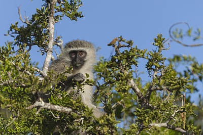 Vervet Monkey Perched In A Treetop Poster