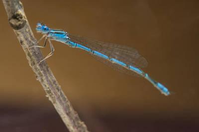 Very Blue Damsal Fly Poster by Douglas Barnett