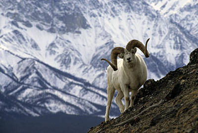 Very Large Dall Sheep Ram On The Grassy Poster by Michael S. Quinton