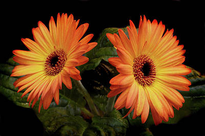 Poster featuring the photograph Vibrant Gerbera Daisies by Terence Davis