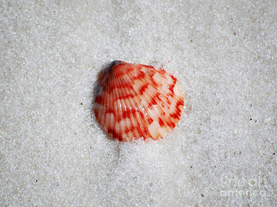 Vibrant Red Ribbed Sea Shell In Fine Wet Sand Macro Poster by Shawn O'Brien