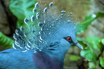 Victoria Crowned Pigeon Poster by Daniel Hebard