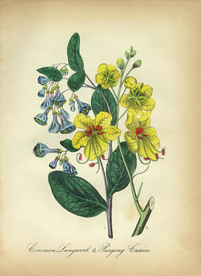 Victorian Botanical Illustration Of Lungwort And Cassia Poster by Peacock Graphics