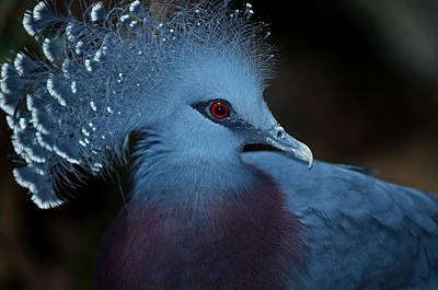 Poster featuring the photograph Victorian Crowned Pigeon by JT Lewis