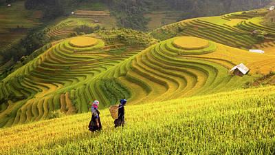 Vietnam. Rice Fields Prepare The Harvest At Northwest Vietnam Poster