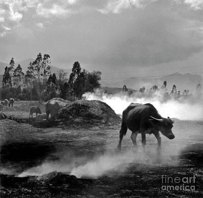 Vietnamese Water Buffalo  Poster