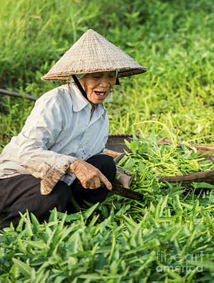Vietnamese Woman In Rice Paddy Poster