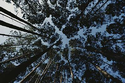 View Looking Up At The Tops Of Loblolly Poster by Bates Littlehales
