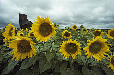 View Of A Field Of Sunflowers Poster