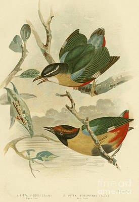 Vigor's Pitta Or Elegant Pitta Poster