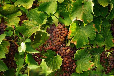 Vines With Ripe Grapes Poster