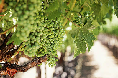 Wine Vineyard Of St. Helena - Grapevine Napa Valley Photography Poster