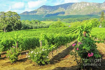 Vineyard Of Stellenbosch Poster