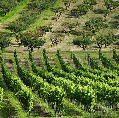 Vineyards And Orchards Poster
