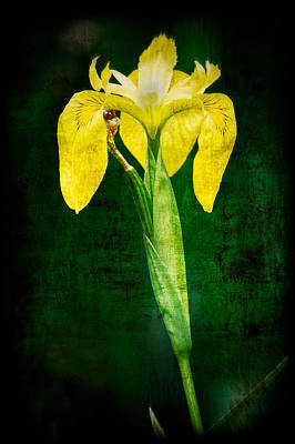 Vintage Canna Lily Poster by Rich Leighton