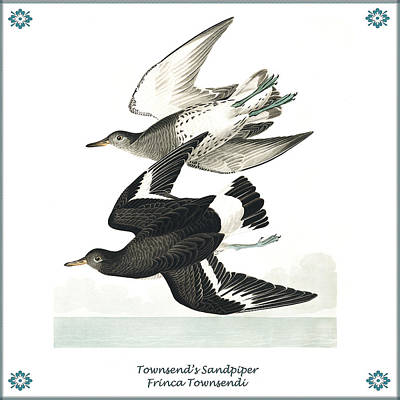 Vintage Townsends Sandpiper Audubon Poster