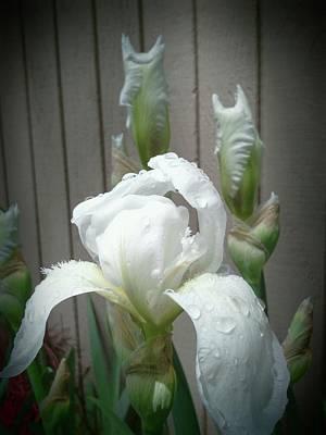 Vintage White Iris Poster