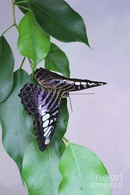 Violet Clipper Butterfly V2 Poster