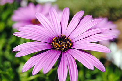 The African Daisy 1 Poster