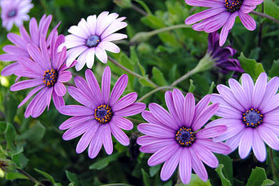 The African Daisy Flowers Poster