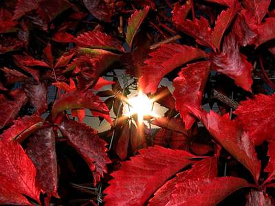 Virginia Creeper Sunburst 2 Poster by Will Borden