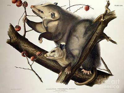 Virginian Opossum Poster by John James Audubon