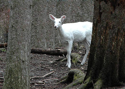 Poster featuring the photograph Vision Quest White Deer by LeeAnn McLaneGoetz McLaneGoetzStudioLLCcom