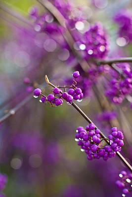 Vivid Beauty Berries Poster by Mike Reid