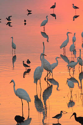 Wading Birds Forage In Colorful Sunset Poster by George Grall