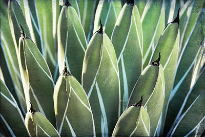Poster featuring the photograph Wall Of Agave  by Saija Lehtonen