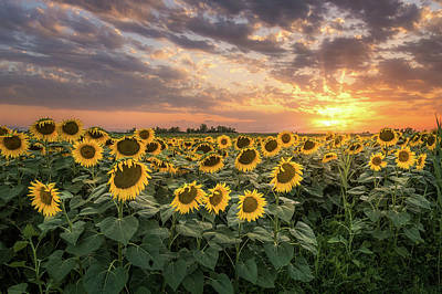 Wall Of Sunflowers Poster
